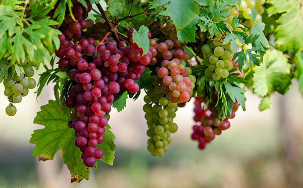 grapeseed-extract